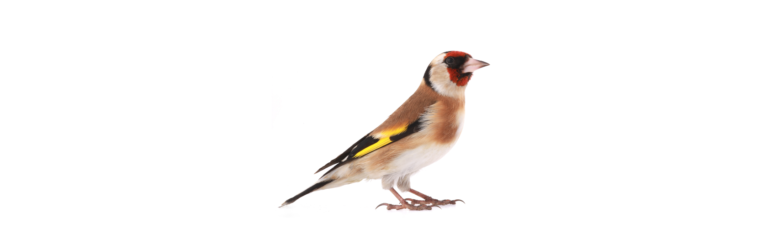 Goldfinch, the state bird of Iowa