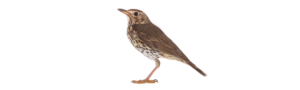 Thrush, the state bird of Vermont