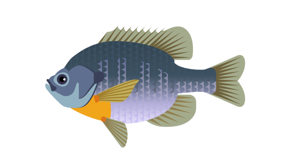 Illustration of Bluegill fish, the state fish of Illinois