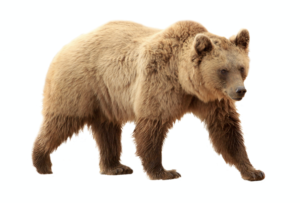 The Grizzly Bear, the California state land mammal
