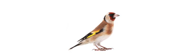 Goldfinch, the state bird of Iowa