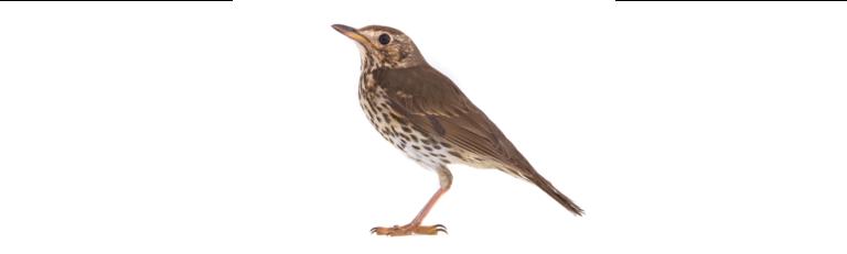 Thrush, the state bird of Vermont